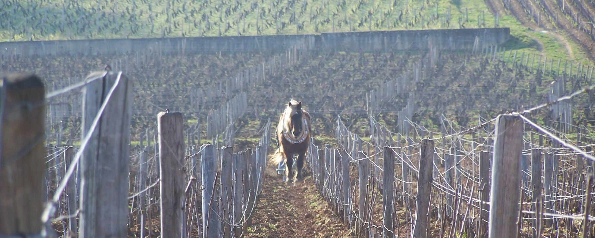 vigne-cheval